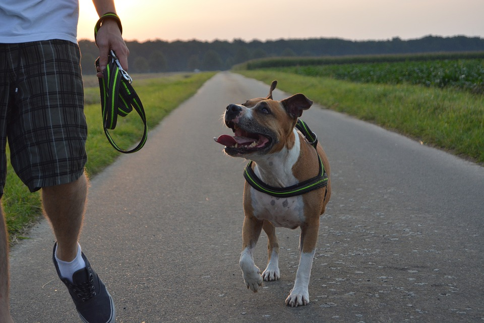 amstaff carattere