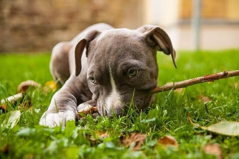 amstaff cucciolo gioca durante l'addestramento