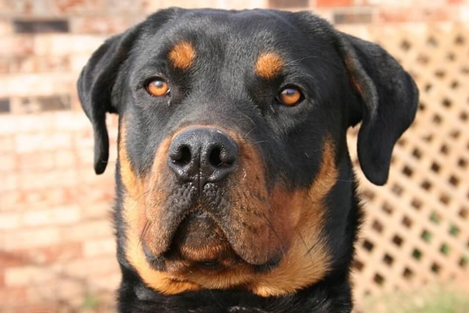 rottweiler, uno dei migliori cani da difesa